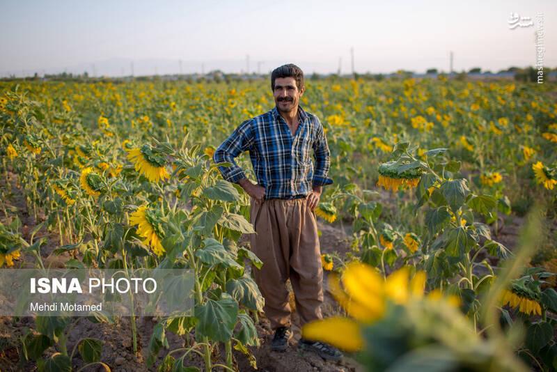 2926628 - تصاویر دیدنی از مزارع آفتابگردان قزوین