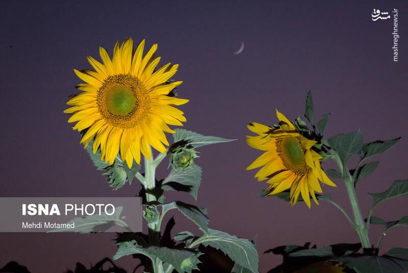 2926631 - تصاویر دیدنی از مزارع آفتابگردان قزوین
