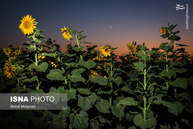 2926632 - تصاویر دیدنی از مزارع آفتابگردان قزوین
