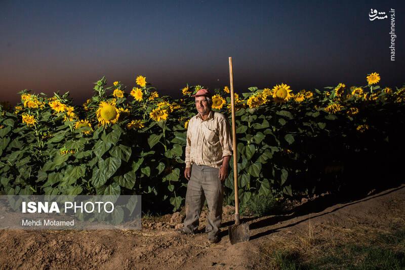 2926633 - تصاویر دیدنی از مزارع آفتابگردان قزوین