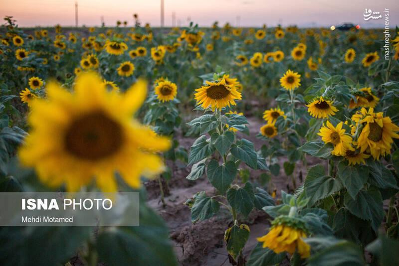 2926635 - تصاویر دیدنی از مزارع آفتابگردان قزوین