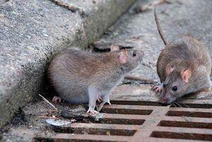 طغیان موشهای پایتخت