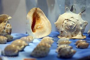 عکس/ اولین موزه تخصصی صدف و حلزون
