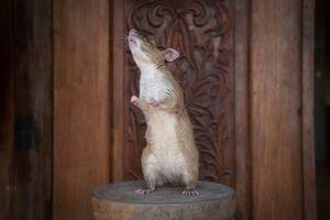 عکس/ خنثی سازی مین با موش