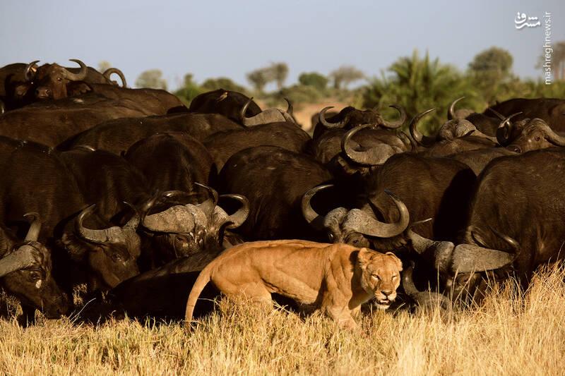 عکس/ عقب نشینی یک شیر در حمله به بوفالو