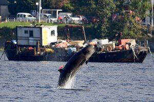 پرش دیدنی دلفین در اسکاتلند