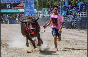مسابقه گاومیش سواری در تایلند