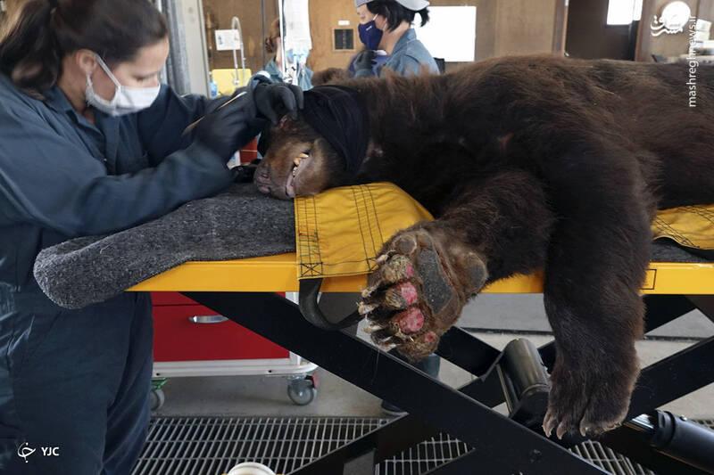 درمان یک خرس که در اثر سوختگی در آتش سوزی در شهرستان بوت سوخته است توسط اعضای کارکنان حیات وحش کالیفرنیا