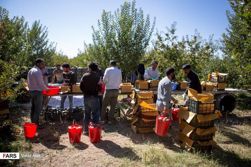 بسته بندی سیب توسط کارگران