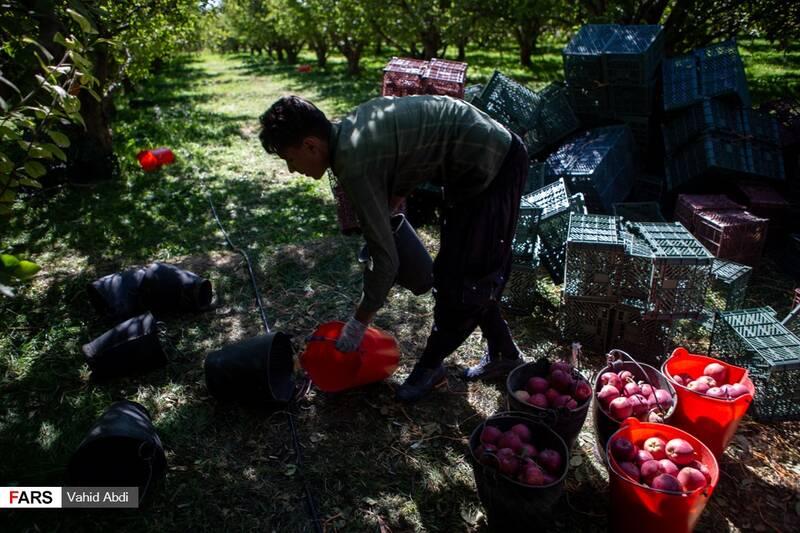برداشت سیب توسط کارگران