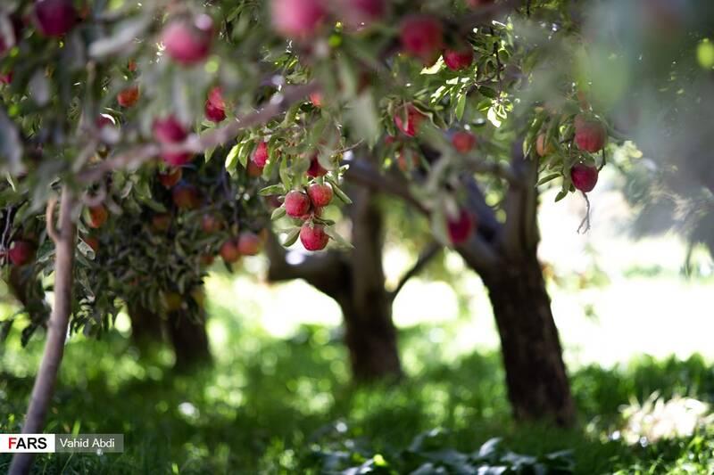 باغ سیب