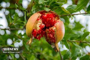 عکس/ انار باغهای بهشهر