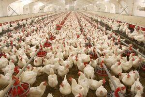 نرخ ۱۳ هزار تومانی مرغ زنده غیرمنطقی است