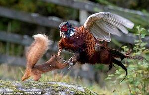 دعوای قرقاوول و سنجاب