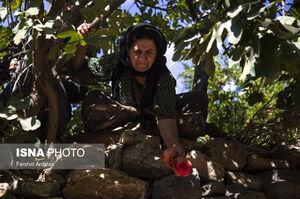 عکس/ برداشت انار از باغات «هورامان»