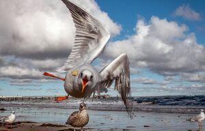 عکس/ حمله مرغ دریایی برای شکار