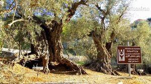 درخت زیتون به قدمت شش هزار سال در لبنان +عکس