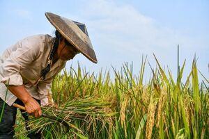 عکس/ برداشت برنج چینی