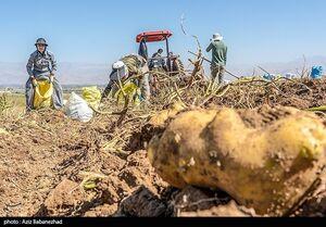 عکس/ برداشت سیب زمینی در مناطق سرد