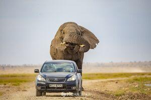 عکس/ فرار خودرو از حمله فیل عظیم الجثه