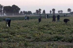 فیلم/اتفاق عجیب در یک مزرعه خیار حاشیه تهران