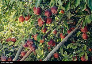 عکس/ برداشت سیب از باغات مراغه