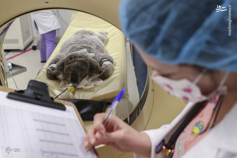 توانبخشی یک کوالای بیمار به نام والی توسط آژانس نجات حیوانات