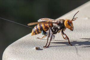 هشدار جدی برای طبیعت ایران با انقراض زنبورعسل کوچک