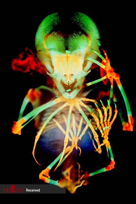 عکاس : دکتر دوریت هاکمن - تهیه اسکلت از رویان خفاش میوه ای دم کوتاه