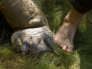 عکس/ مقایسه ابعاد پای تمساح و انسان