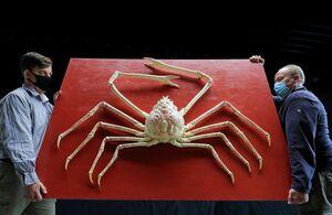 عکس/ حراج خرچنگ عنکبوتی غول پیکر