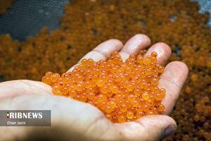 عکس/ تولید تخم ماده ماهی قزل آلا