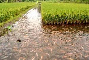عکس/ پرورش ماهی کپور در شالیزارهای برنج