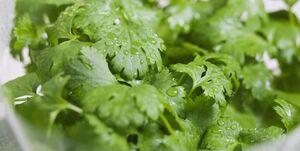 خامفروشی گیاه «ارزآور»/ اشتغالی که بر باد میرود...