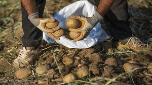 پیشنهاد مبادله ۱۰۰ هزار تن سیبزمینی با موز