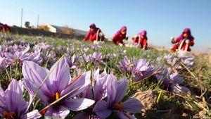 پتانسیل جالب سیستان و بلوچستان برای کاشت زعفران