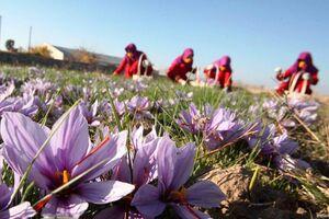 کاشت زعفران نمایه