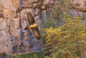 پرواز پرنده هما در آسمان پاییزی قزوین +عکس