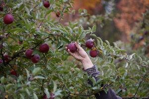 عکس/ برداشت سیب در نیویورک