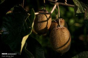 عکس/ برداشت کیوی در باغات شمال
