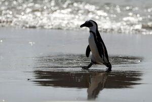 فیلم/ فرار دیدنی پنگوئن باهوش از مرگ!