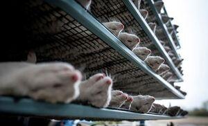 قتلعام میلیونها حیوان در دانمارک +عکس