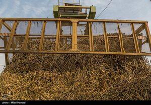 عکس/ برداشت نیشکر از مزارع خوزستان