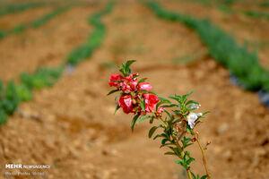 عکس/گیاهان دارویی، گرهگشای سلامت بشر