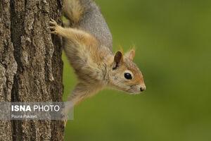 عکس/ سنجاب قرمز ایرانی را دیدهاید؟