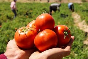 گوجه فرنگی نمایه