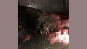 تصادف بوئینگ ۷۳۷ با یک خرس! +عکس