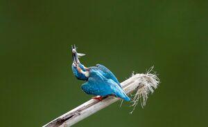 پرندهای با سیبیلهای چخماقی +عکس