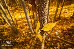 عکس/ طبیعت طلایی رنگ مبارکه