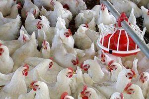 وزیر کشاورزی: مرغ هست، ۱۸۵۰۰ هم است!